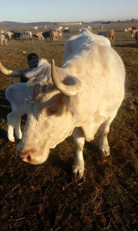 Covid-19. Vaca de campo de l ganadero Jorge Izquierdo
