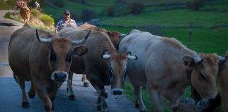 Cuatro vacas en el camino guiadas por el pastor