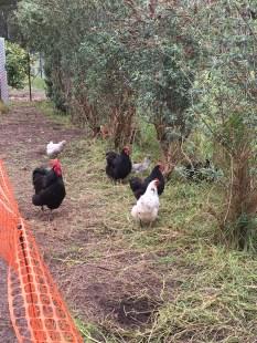chicken-helpers