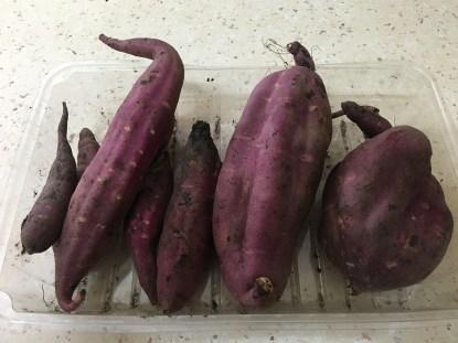 sweet-potato-harvest-16