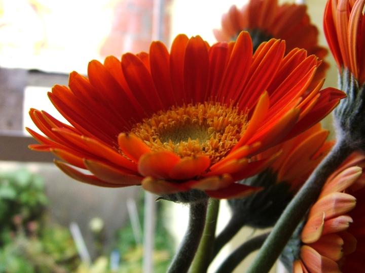 Flores  Aquilea