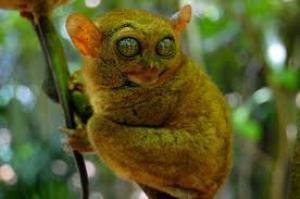 cebuhotelsandresorts.com-images-tarsier-monkey-bohol-philippines
