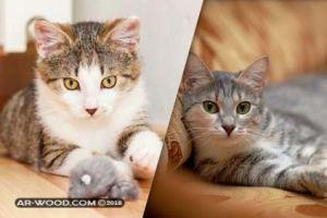 براغيث القطط تنتقل للانسان