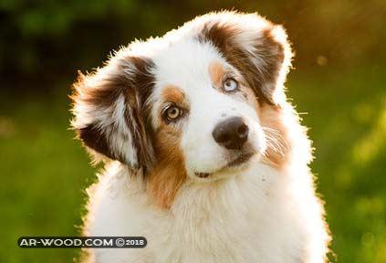 علامات الحيض عند الكلاب بالصور