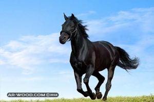 اجمل الخيول العربية الاصيلة في مصر