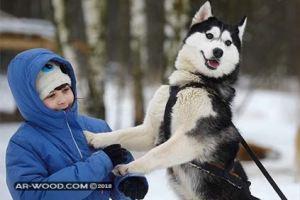 انواع الكلاب الهاسكي واسعارها