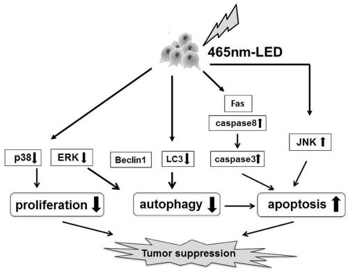 small resolution of effect of light irradiation by light emitting diode on colon cancer cells