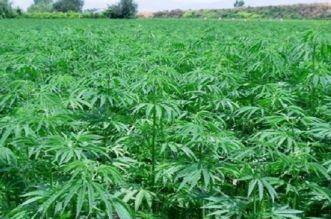 الدولة تكشف خطتها للقضاء على زراعة الكيف