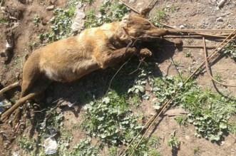 مؤلم.. كلب يفترس طفلة ويتسبب في وفاتها