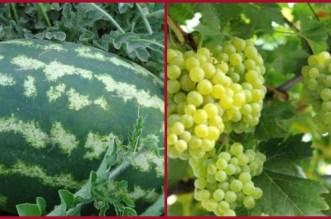 """عريضة: """"البطيخ"""" و""""العنب"""" يُهددان المغاربة بالعطش"""