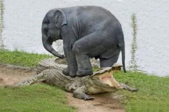 نهاية مأساوية لمعركة بين فيل وتمساح