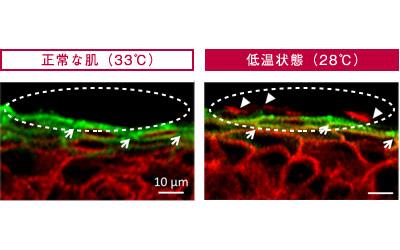 体温が低下すると、タイトジャンクション(図:緑色部分)の働きが悪化し、水分やCaイオン(図:赤色部分)が流出してしまう。【ストレスによる肌荒れのメカニズム(ポーラ研究所調べ)】