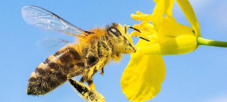 لا تنسى فضل النحل البري!