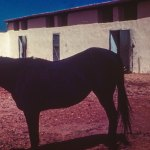 Ras Mare Salwa Black Color Rare Arabian Horse Archives