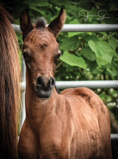 The 2017 filly Eluciv Diamond (Eliron Haman x Honeycreek Gold Lyric), bred and owned by Angela Jenkins, Diamond Magic Arabians, Gilmer, Texas.