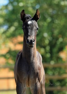 The 2017 Half-Arabian blue roan filly, not yet named, by Klint Black out of Shay Elekktrah, owned by Mike and Sandra Sicilia, Colbert, Washington.