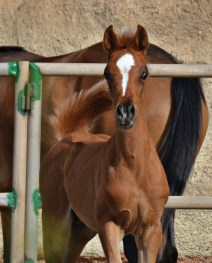 The 2017 colt Alqarat G (Qatari De La Rua x Alanah RV), owned by Amazigh Stud, Canary Islands, Spain.