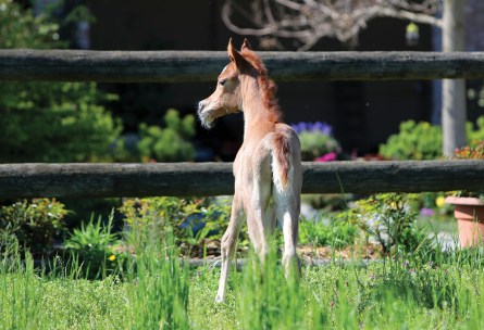 The 2017 filly Passiflora Le Soleil (ZT Magnofantasy x Laheeba Le Soleil), bred and owned by Elvis Giughera, Le Soleil Stud, Italy.