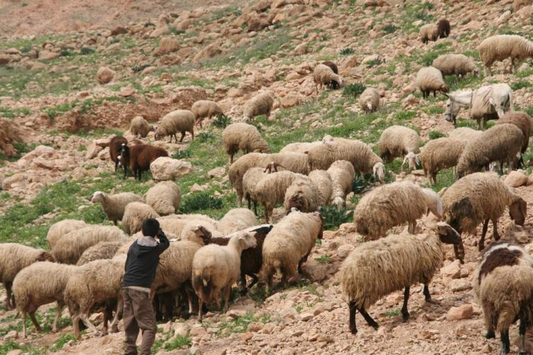 Sheep in Gaza, Palestine
