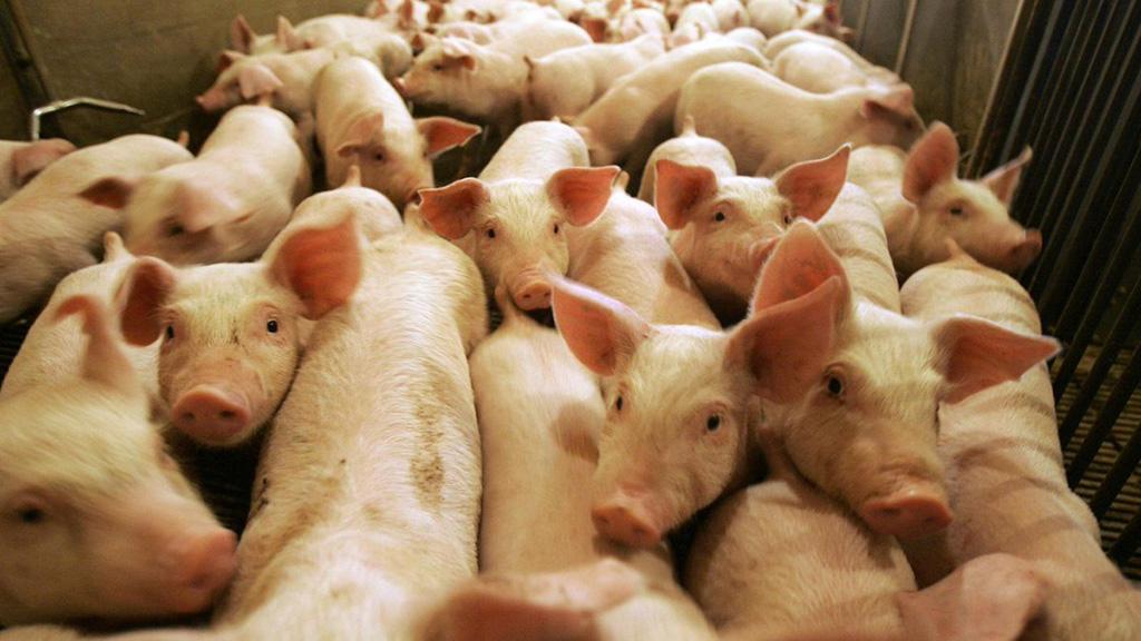 إقليم سيتشوان الصيني يحظر استيراد الخنازير الحية ومنتجاتها