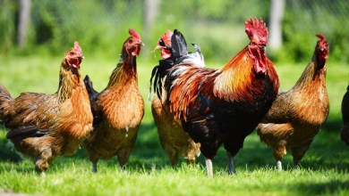 Photo of لا تستخف بعقول الدجاج.. فهي ذكية وذات ميول ميكيافيلية