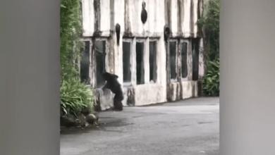Photo of بالفيديو قردة شمبانزي تهرب من قفصها وتثير هلع الزوار