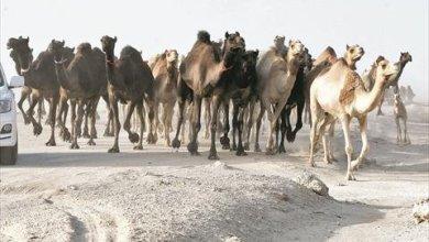 Photo of حلال أهل قطر العالق في الكويت يصل ميناء الرويس