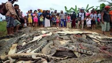 Photo of قتلوا 292 تمساحا انتقاما لصديقهم!