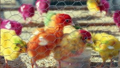 Photo of سوق الطيور في دبي ملتقى التجار والهواة