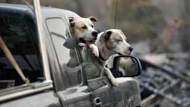 Photo of الكلاب يمكن أن تشم رائحة سرطان الرئة بدقة تصل إلى 97%