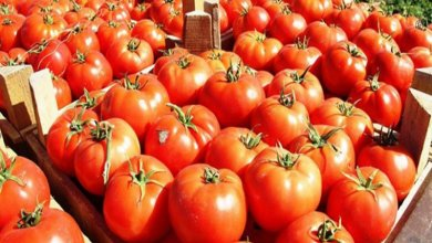 Photo of روسيا تعيد 51 طنًّا من الطماطم التركية.. تعرف على السبب