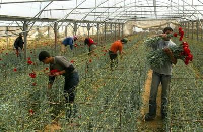 Gaza's embargoed roses. From the Palstreet blog: http://palstreet.blogspot.com/2009/12/blog-post_19.html