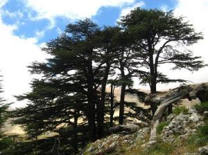 Libano La foresta dei cedri di Dio 2