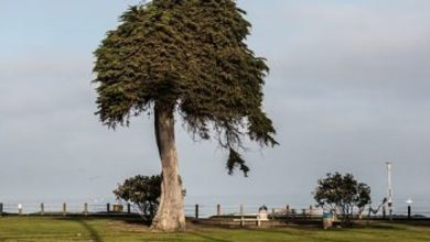 Photo of سقوط شجرة نادرة في كاليفورنيا لسبب مجهول