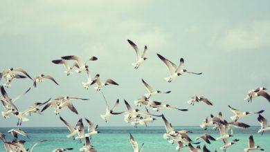 Photo of الحرارة الشديدة تحول طيور النورس إلى آكلة لحوم دموية
