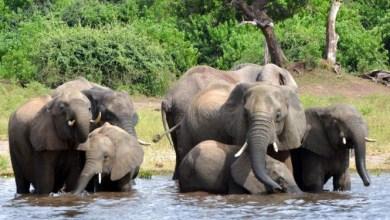Photo of اتفاق دولى يمنع صيد الفيلة لعرضها فى حدائق الحيوان