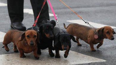 "Photo of ""زامورا"" الإسبانية تفرض ضريبة على اقتناء الكلاب"
