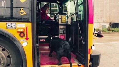 Photo of كلبة تستقل الحافلة يوميًا بمفردها للذهاب لمكانها المفضل (فيديو)