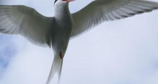 خطاف البحر Arctic Tern