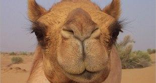 الجمل - Camel