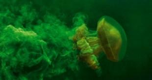 الصبغة الخضراء تُظهر أثر المياه التي يسحبها معه قنديل البحر وهو يسبح.