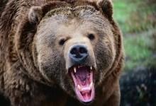 صورة البحث عن الدب