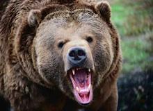 البحث عن الدب
