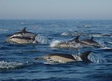 جيش الدلافين