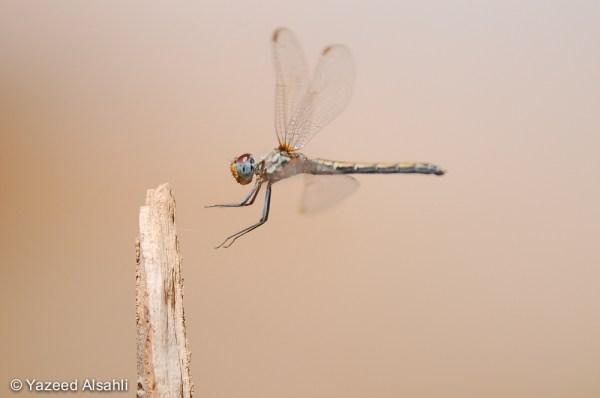 صورة لليعسوب لان اليعسوب من اقدم الكائنات الحية في الارض فقد عاصر الدينصورات