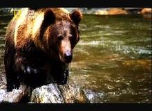 المصورون الجريئون : في ارض صراع الدببة