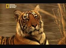 ملكة النمور