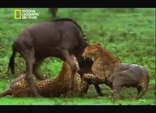 معارك الحيوانات