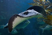 صورة أسماك مخيفة : سمكة الراي اللاسع