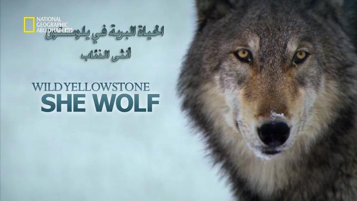 وجهات برية HD - الحياة البرية في يلوستون : أنثى الذئاب - موقع علوم العرب